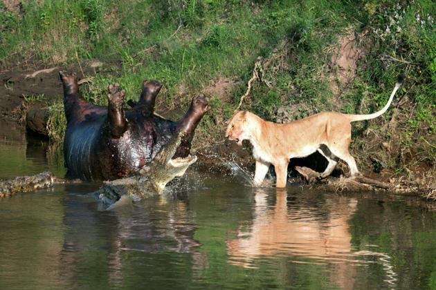 Lion fights crocs over hippo - Yahoo News