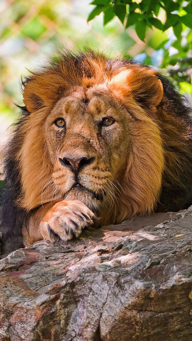 Intently lion iPhone wallpapers, Background and iPhone 4 wallpapers, HD iphone wallpapers